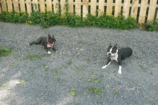 Boston terriers relaxing in the shade from Glengormley